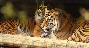 Pair of tigers in a cave by cursedsight
