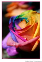 Happy Roses 5 by MarjoleinART-Photos