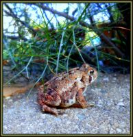 Bufo americanus by Sugaree33-Art