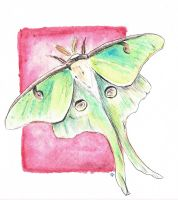 Luna Moth by KCJoughDoitch