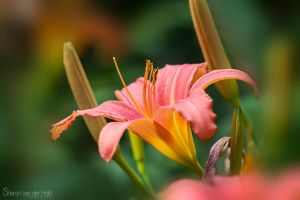 Pink flower by SvanderHolst