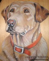 Yellow Lab Commision by daylightdreams