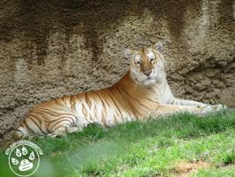Strawberry Tiger Photo 1 by lady-cybercat