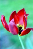 Tulip by laurna
