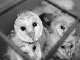 Baby Barn Owls in BW by Kayllik