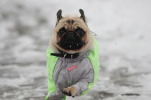 Snow pug 1 by HollyHuntington