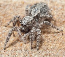 Jumping spider by 88-Lawstock