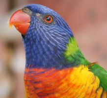 rainbow lorikeet, when you wish upon a star by scratzilla