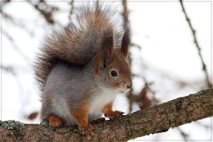 Red Squirrel 1 by Starfall00