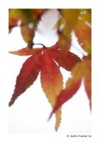 Cherry Maple Autumn by butterfly36rs