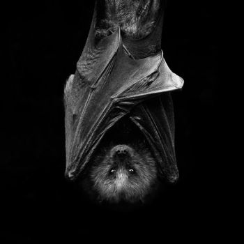 Fruit Bat by hidarime-images