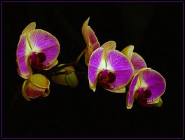 MORE ORCHIDS by THOM-B-FOTO