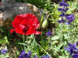 Coquelicot by Fairling