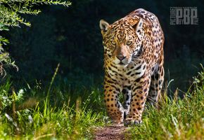 The Proud Jaguar by PictureByPali