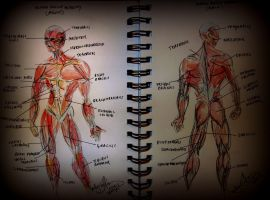Human Muscle Anatomy by TamiTw