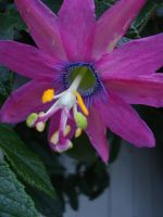 Gayest Passion Flower Ever by TreeClimber
