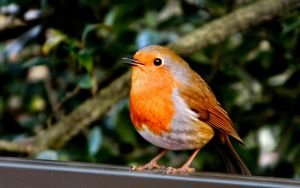 The Robin by Ionday