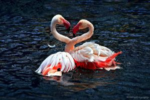 flamingo heart by evenliu