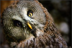 Owl2 by brijome