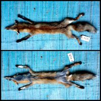 Eastern Red Fox Pelt by Brillyent-Blondie