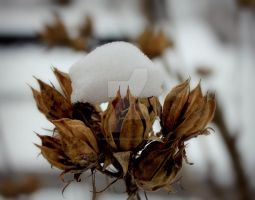 Rose of Sharon Snow Cap by Allie-Duda18
