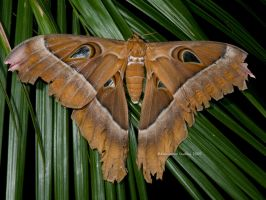 Hercules Moth by Gehyra