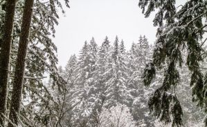 Winter Evergreen by Walden-Photography