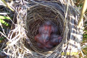 Baby Birds 1 by Salamander-Stock