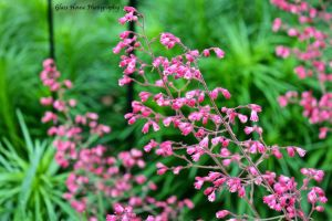 Coral Bells by GlassHouse-1