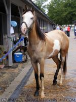 Paint Horse 44 by EquineStockImagery