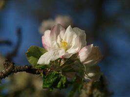 Apple Blossom 11 by botanystock