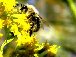 Bumble Bee by Steppenwulfe
