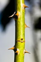 Thorn by haakenson-stock