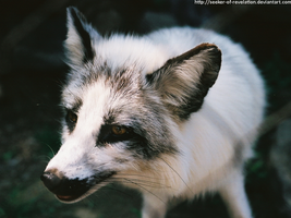 Zoo - Arctic fox by seeker-of-revelation
