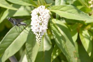 Giant Black Wasp Take Off and Staring Me Down by Miss-Tbones