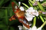 Hummingbird clearwing Moth 2016 2 by natureguy