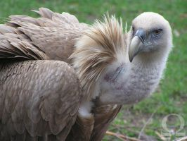 Griffon Vulture by ZliZemenize