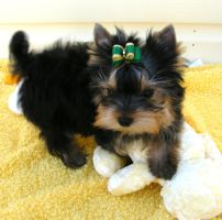 Little Green Bow. by Show-us-Yorkies
