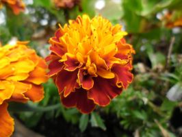 Tagetes reload by flegom