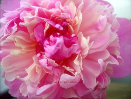 candy Peony -3- by LadyxWinter
