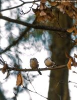 Long-tailed Tits by AlecsPS