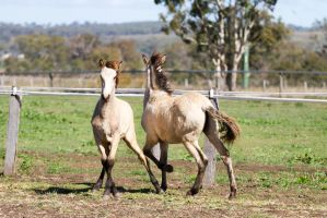 HH Iberian legs crossed front view foal by Chunga-Stock