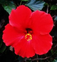 Red Hibiscus by Oseltamivir