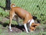 Basenji Houston 13 by 0Encrypted0