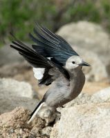 Clark's Nutcracker by TheSleepyRabbit