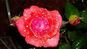 .Glazed Rose. by BabyLinux
