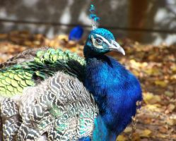 Peacock Stock- 1 by iconoclast-stock