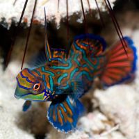 Tropical fish Mandarinfish by MotHaiBaPhoto