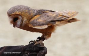 Barn Owl by MorganeS-Photographe