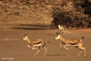 Cheetah hunting springbok by Kbulder